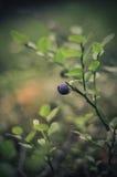 蓝莓-特写镜头 免版税库存图片