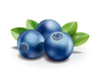 蓝莓 皇族释放例证