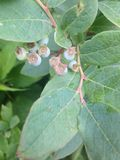 蓝莓riping莓果的花 免版税库存图片
