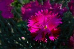 蓝蓝红色与芽的被装饰的庭院桃红色 免版税库存照片