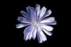 蓝蓝被隔绝的花 免版税库存照片
