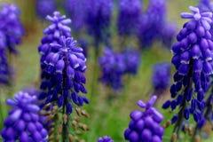 蓝蓝紫罗兰色穆斯卡里的绽放 库存照片