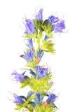 蓝蓟或蛇蝎` s牛舌草或在白色背景隔绝的Echium vulgare 药用植物 库存图片