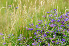 蓝蓟植物 库存图片