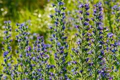 蓝蓟花在一个晴朗的草甸 库存照片