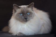 蓝蚝ragdoll有黑背景 免版税库存图片