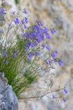 蓝铃花生长在峭壁的风轮草rotundifolia 免版税库存图片