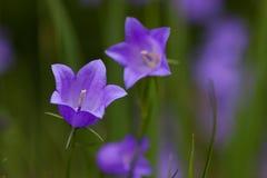 蓝铃花(风轮草rotundifolia) 免版税库存图片