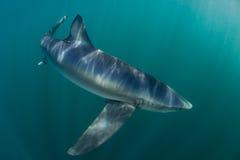 蓝鲨鱼在大西洋 库存图片