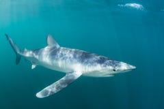 蓝鲨鱼游泳在被日光照射了水域中 免版税库存图片