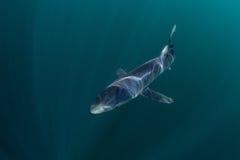 蓝鲨鱼游泳在黑暗的水域中 库存图片