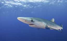 蓝鲨鱼 免版税库存照片