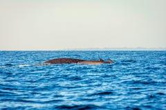 蓝鲸在海洋 图库摄影