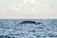 蓝鲸在海洋 免版税库存照片