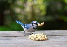 蓝鸟用花生 库存照片