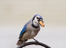 蓝鸟用花生 免版税库存图片