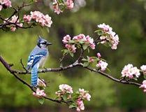 蓝鸟 免版税库存图片