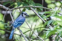 蓝鸟 图库摄影