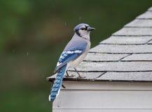 蓝鸟 库存照片