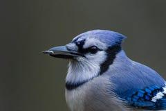 蓝鸟 库存图片