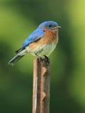 蓝鸫东部男性北美产蓝知更鸟泥蛉类 库存图片