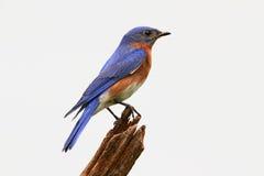 蓝鸫查出的树桩 库存图片