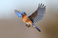 蓝鸫飞行 库存图片
