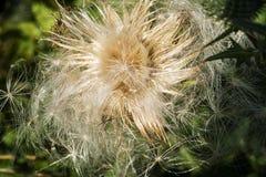 """蓟†""""一朵美丽的花 库存图片"""