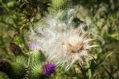 """蓟†""""一朵美丽的花 免版税库存图片"""