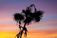 在日落天空的蓟草 免版税库存照片