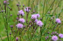 蓟在有芽和淡紫色花的草甸 库存照片