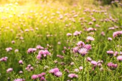 蓟的领域与太阳火光光的春天 免版税图库摄影