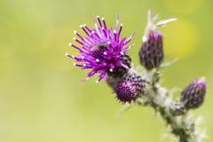 蓟绽放,苏格兰的全国花的特写镜头 库存图片