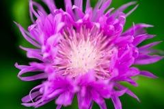 蓟紫罗兰色颜色明亮地溶化它长的瓣 免版税库存图片