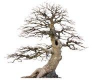 蓬乱的不生叶的树,被隔绝 免版税图库摄影