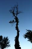 蓬乱的树在微明下 库存图片