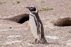 蓬塔Tombo巴塔哥尼亚麦哲伦企鹅  库存照片