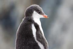 蓬松企鹅 库存照片