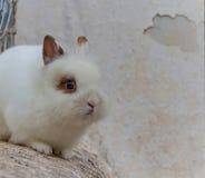 蓬松兔子白色 免版税库存图片