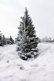 蓬松冷杉,圣诞树在雪站立 免版税库存图片