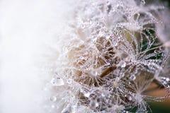 蓬松和易碎的蒲公英花宏观射击与雨下落的在清早 免版税图库摄影