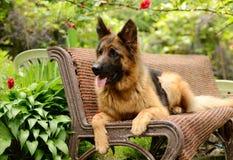年轻蓬松在庭院里的狗品种德国牧羊犬室外 免版税图库摄影