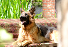 年轻蓬松在庭院里的狗品种德国牧羊犬室外 库存图片