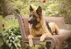 年轻蓬松在庭院里的狗品种德国牧羊犬室外 库存照片