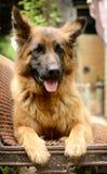 年轻蓬松在庭院里的狗品种德国牧羊犬室外 图库摄影