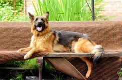 年轻蓬松在庭院里的狗品种德国牧羊犬室外 免版税库存图片