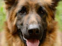 年轻蓬松在庭院里的狗品种德国牧羊犬特写镜头画象室外 免版税库存图片