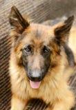 年轻蓬松在庭院里的狗品种德国牧羊犬特写镜头画象室外 库存图片