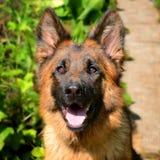 年轻蓬松在庭院里的狗品种德国牧羊犬特写镜头画象室外 库存照片