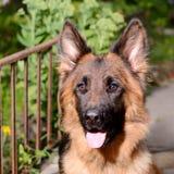 年轻蓬松在庭院里的狗品种德国牧羊犬特写镜头画象室外 免版税库存照片